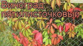 Виноград пятилисточковый (parthenocissus quinquefolia) 🌿 обзор: как сажать, рассада винограда