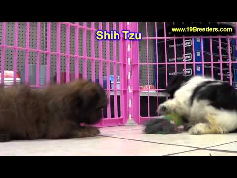 Shih Tzu, Puppies, For, Sale In Toronto, Canada, Cities, Montreal, Vancouver, Calgary