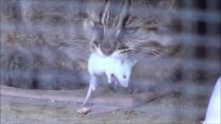 """ネズミを食べる、ツシマヤマネコ。""""Tsushima Leopard Cat"""" eats a mouse. ツシマヤマネコ 検索動画 13"""