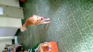Golden Retriever Vs Beagle