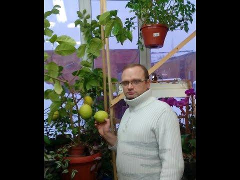 Кольцевание и перетяжка лимона для цветения