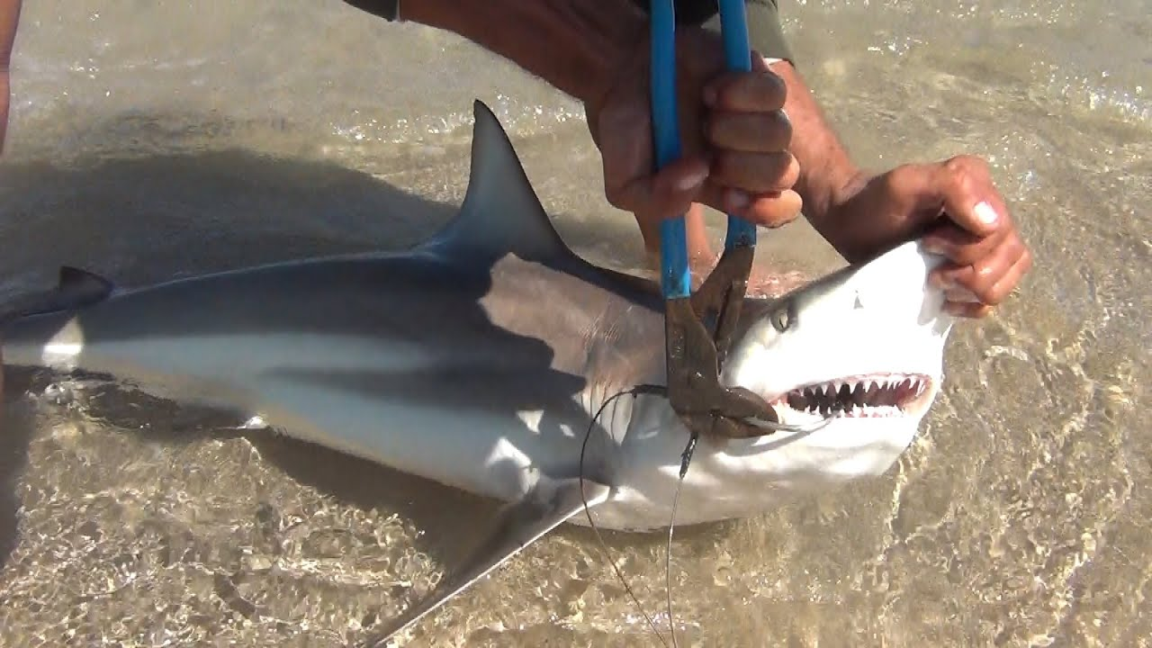 PINS Black Tip Shark Fishing, Loose Some, Land Some, A ...