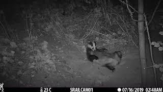 JULY: Laid back badger