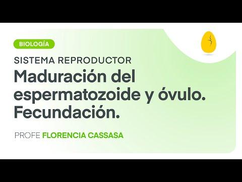 Maduración Del Espermatozoide Y óvulo. Fecundación   Biología   S. Reproductor   V4   Egg Educación