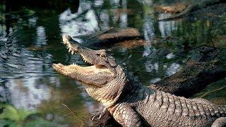 American alligators (HD)