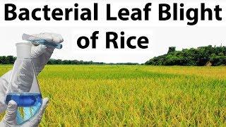 Bacterial Leaf Blight of Rice - आंध्र प्रदेश के सांभा महसूरी चावल पर बैक्टीरियल ब्लाइट का आतंक