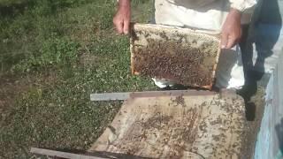Пчел стряхиваем с рамки  Видео с приколом