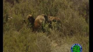 Caza de zorro con Aguila Real (Spain)