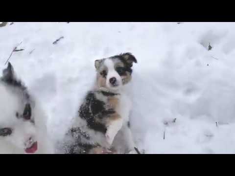 8 and a Half Week Old Toy Aussies in the Snow