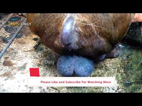 How to breeding a Pig  Sperm Collection 2017