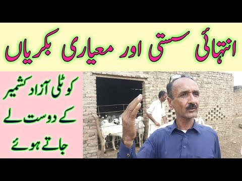 Goat Farming For Meat In Pakistan || Goat For Meat In India || Goat Farming Business Plan