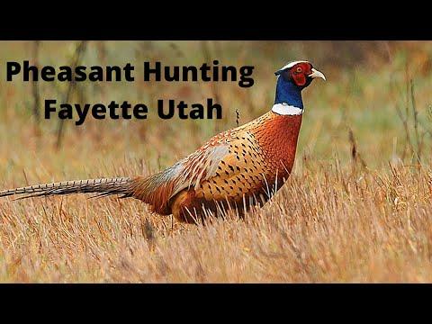 Pheasant Hunting In Fayette Utah
