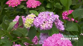아침고요수목원의 초여름 풍경 ( 수국전시회 )