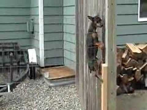 Fence Jumping Dog Stopped By Homemade Coyote Roller Lose Weight More Energy Funnydog Tv
