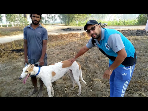 Pet Care - Know About Greyhound -  Bhola Shola