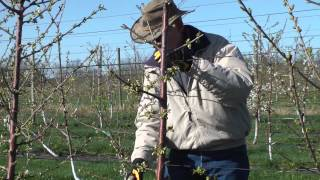 Pruning Gisela Cherry to SSA