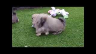 Shih Tzu X Bichon Frise Pups