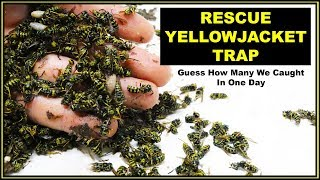 Guess How Many Yellowjacket Hornets The Rescue Trap Caught In One Day. Mousetrap Monday.