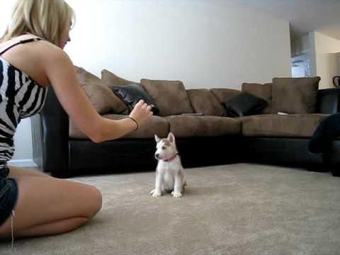 Small Husky puppy tricks