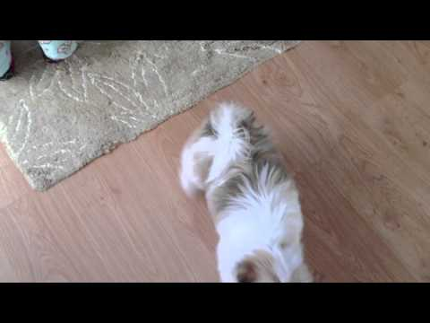 Lhasa Apso Training At Only 13 Weeks