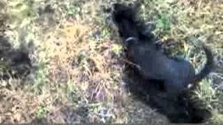 Охота с таксами на корсака