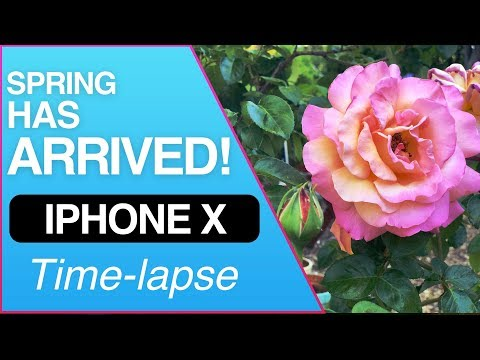 Spring Has Arrived! Roses Blossoming Time-lapse