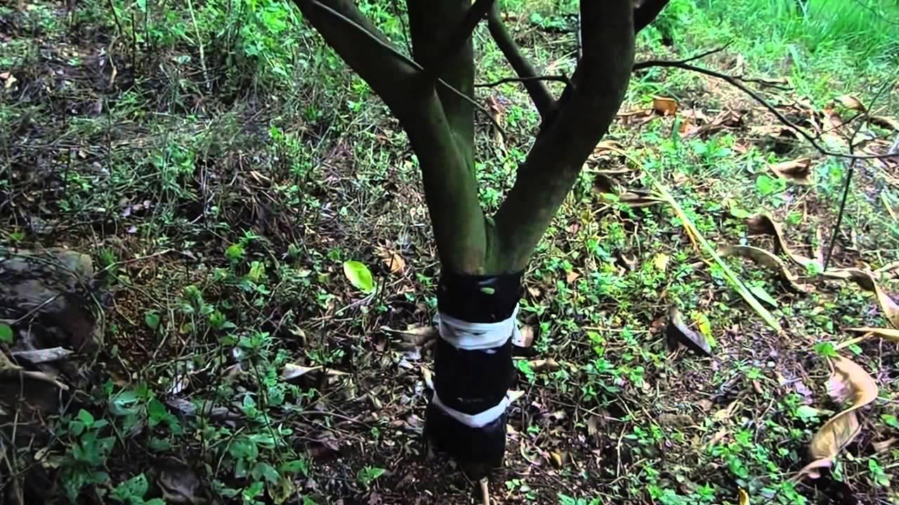 Evite que las hormigas coman las hojas de los arboles for Cuales son los arboles perennes