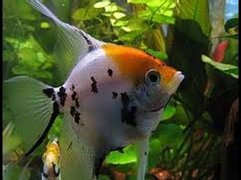 Koi angelfish youtube for Koi youtube