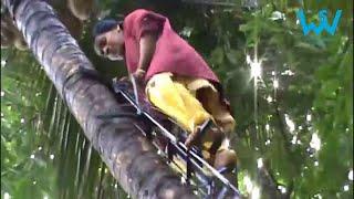 How women climb coconut trees in India   Tree climbing techniques