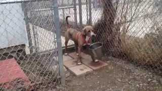 Silly Gilly Dog Carries Bucket Weimaraner / Pit Bull Terrier At Canine Rescue