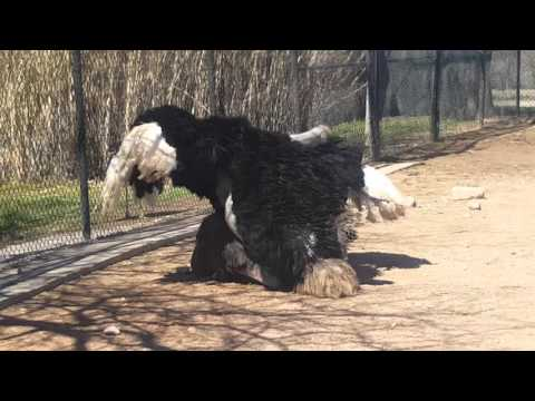 Ostrich mating at Abilene Zoo
