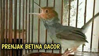 Untuk Masteran | Burung Prenjak Betina Gacor