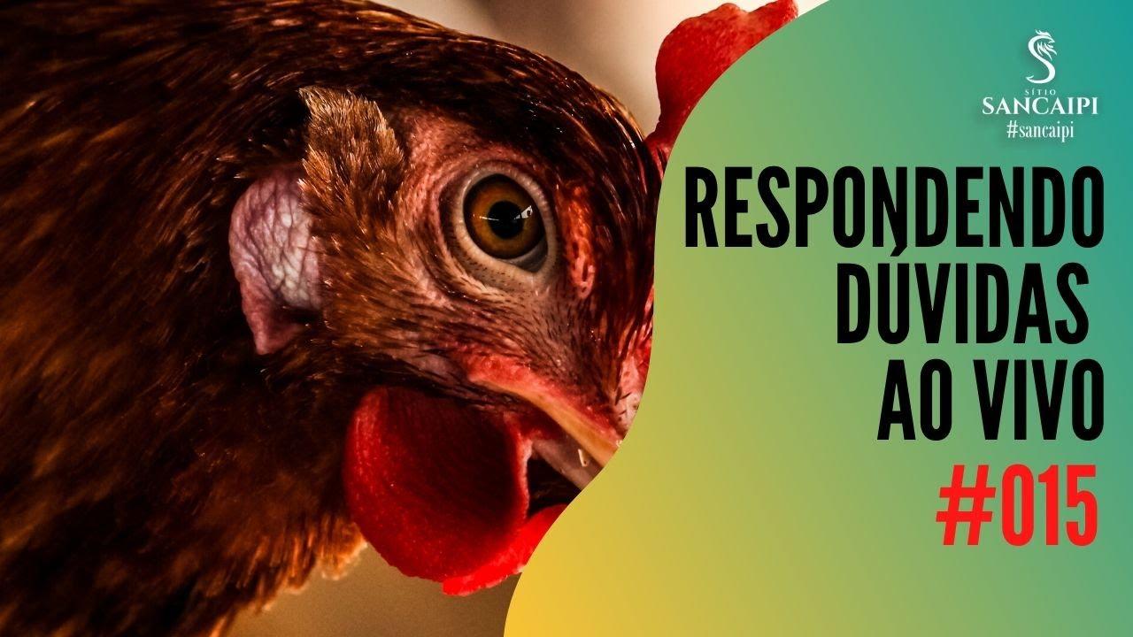 criação de galinhas caipira | RESPONDENDO DÚVIDAS #015