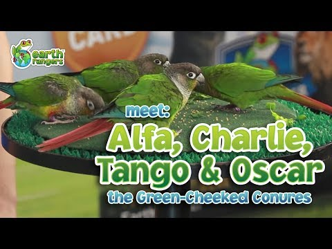 Meet Animal Ambassadors Alfa, Charlie, Tango and Oscar theGreen-Cheeked Conures