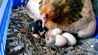 Civcivin yumurtadan çıkış anı