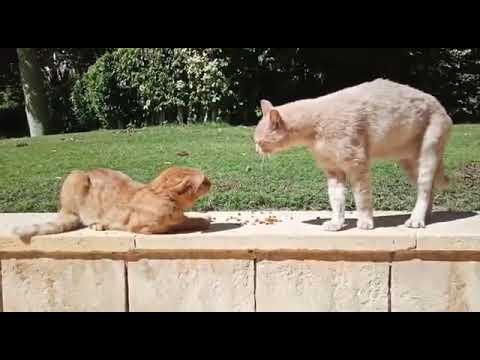 Cat Argument: F. G. Cat Starting a Fight