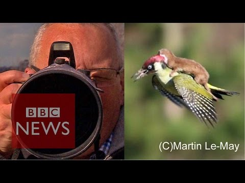 Weasel On Woodpecker: 'How I Snapped The Photo' BBC News