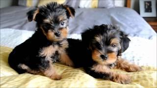 Yorkie Puppies 2012