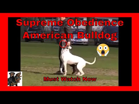 MUST Watch Now - Supreme Obedience American Bulldogs