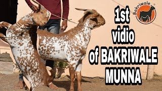 1st vidio of our MUNNA BARBERI MALE FOR SELL 9405359244