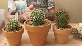Fake Cactus Flower Removal and Cactus Repotting