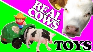 Cows real animals for kids to learn Joe MacDonald animals learning cows farm cow nursery rhymes
