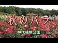 神代植物公園 「秋のバラ」 Autumn Roses の動画、YouTube動画。