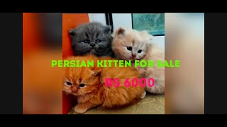Persian cats - kittens  for sale in Bangalore