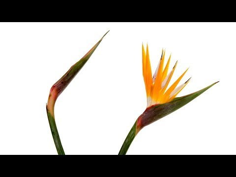 Opening Birds Of Paradise Blooms