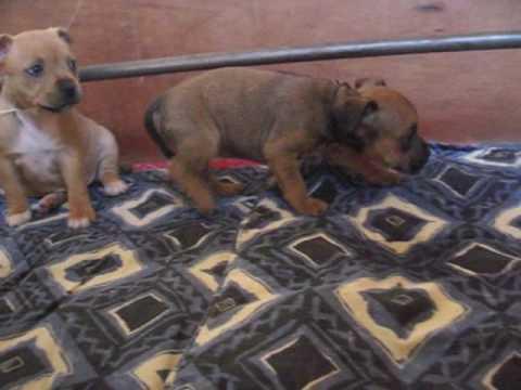 Dressage Staffordshire Bull Terrier (Staffie ) 5 mois