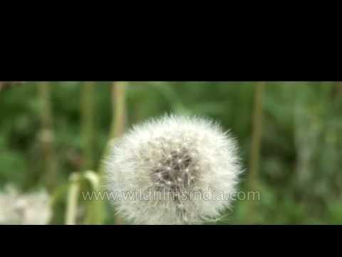 Wild dandelion swaying in the breeze