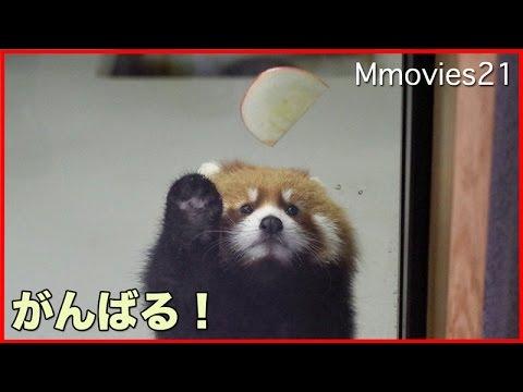 You can do it! Red Panda cub 取れないよ〜!赤ちゃんレッサーパンダ