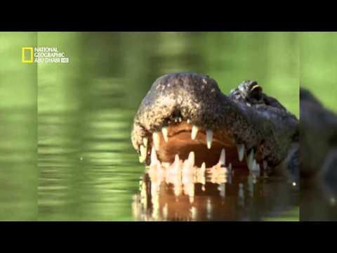 اخطر هجمات التمساح     nat geo abudhabi