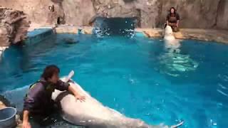 2017/11/18 ベルーガのトレーニング【終了後の遊びの時間編】@名古屋港水族館 thumbnail